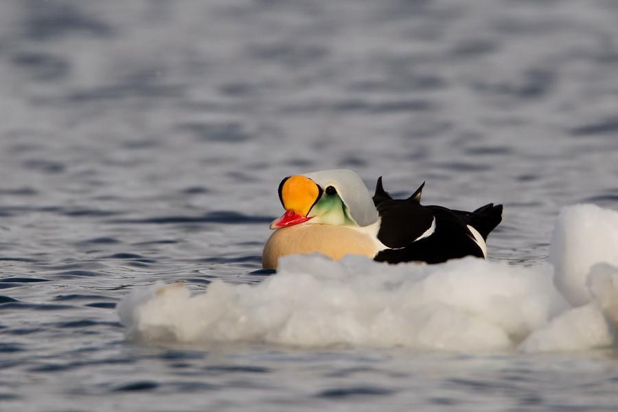 Арктические птицы - турканы прилетают в Польшу в поисках лучших условий обитания