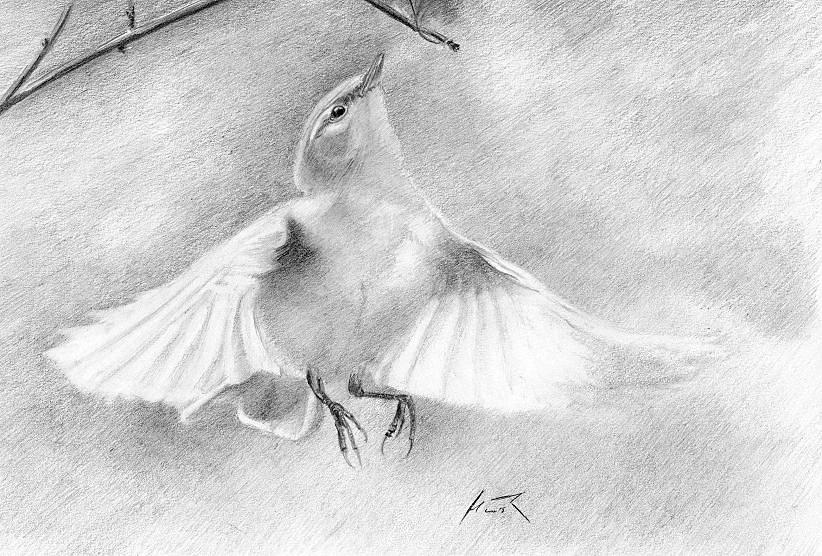 Birdwatchingpl Galeria Pastelowo Ołówkiem