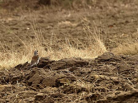http://www.birdwatching.pl/userfiles/image/P3292939kwiczol.jpg